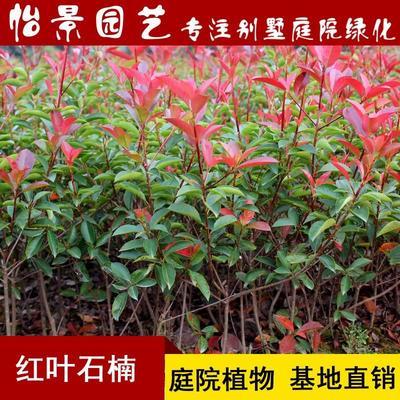湖南省长沙市浏阳市红叶石楠 小苗30cm