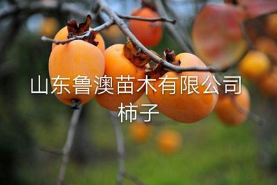 这是一张关于日本甜柿子苗 的产品图片