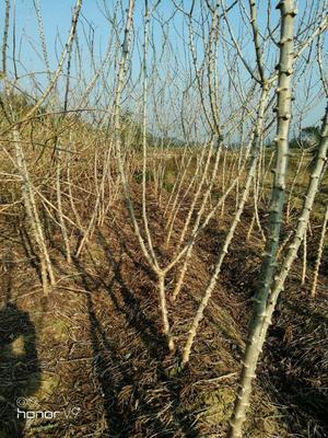 广西壮族自治区钦州市灵山县面包木薯