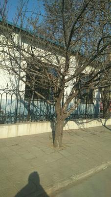 山东省潍坊市潍城区 日本早樱 3.5米~5米 20公分以上
