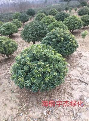 这是一张关于海桐 的产品图片