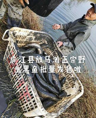安徽省合肥市包河区野生黑鱼 野生 1-1.5公斤 正宗野生的黑鱼