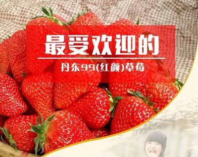 辽宁省丹东市凤城市九九草莓 40克以上