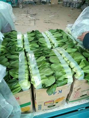 河北省邯郸市永年县北方小油菜 1~2两
