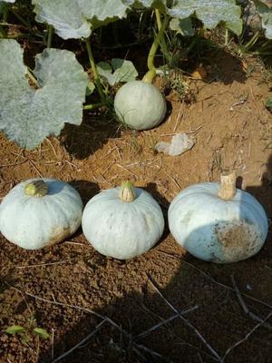 甘肃省酒泉市肃州区银栗南瓜种子 97%