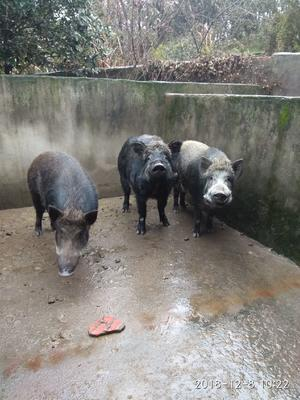江西省南昌市湾里区特种野猪 统货 100斤以上