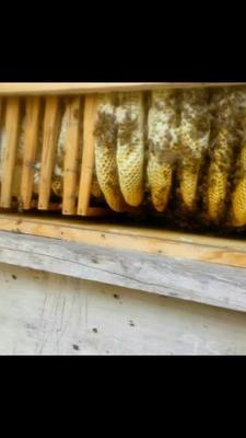 这是一张关于中蜂 的产品图片