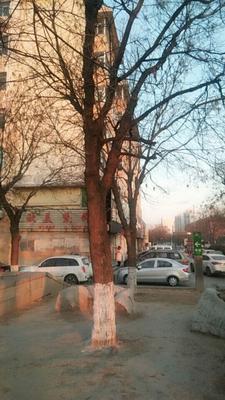 山东省潍坊市潍城区西府海棠