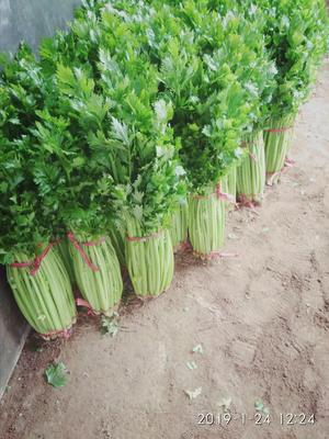 河南省许昌市禹州市法国皇后芹菜 60cm以上 0.5斤以下 大棚种植