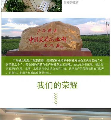 广西壮族自治区南宁市横县白色茉莉
