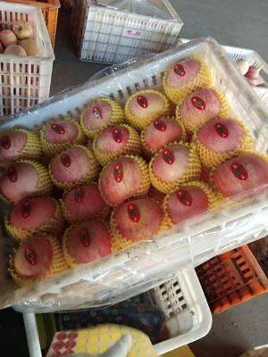 山东省淄博市沂源县红富士苹果 75mm以上 表光 纸袋