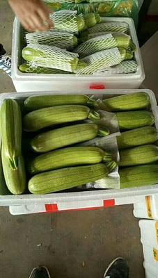 河北省邯郸市永年县绿皮西葫芦 0.5斤~1斤