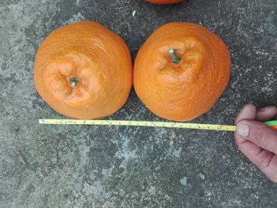 这是一张关于耙耙柑 5.5 - 6cm 3两以上 的产品图片