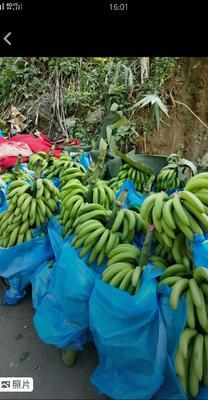 云南省红河哈尼族彝族自治州金平苗族瑶族傣族自治县金平香蕉 八成熟