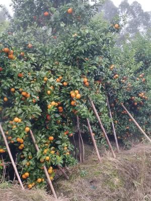 广西壮族自治区梧州市蒙山县沙糖桔 3 - 3.5cm 1 - 1.5两