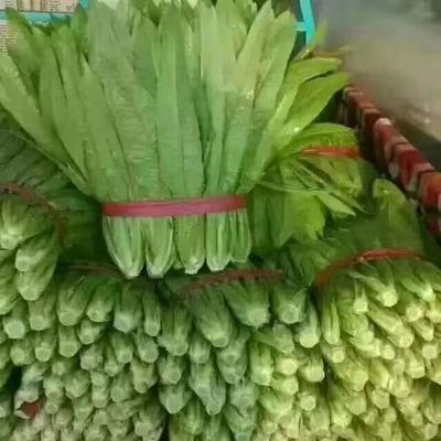河北省邯郸市丛台区青香油麦菜 30~35cm