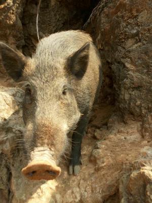 河南省安阳市林州市生态野猪 统货 100斤以上