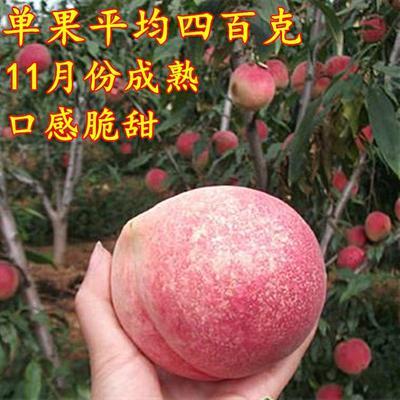 中华寿桃桃树苗 1.5~2.0米