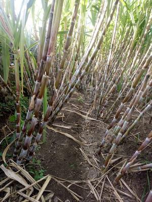 这是一张关于青皮甘蔗 5 - 6cm 2 - 2.5m 的产品图片