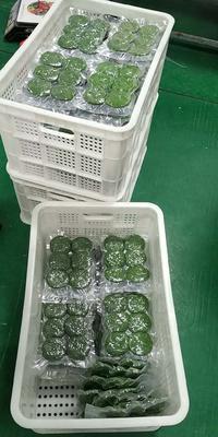 福建省泉州市洛江区鼠鞠粿 2-3个月