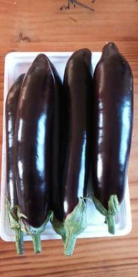 山东省潍坊市坊子区紫长茄 30~40cm 长茄