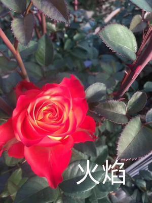 云南省昆明市呈贡区大花月季