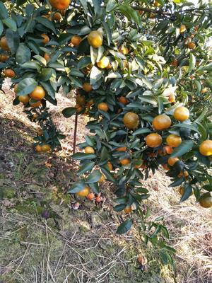 这是一张关于清香蜜桔 3.5 - 4cm 1 - 1.5两 的产品图片