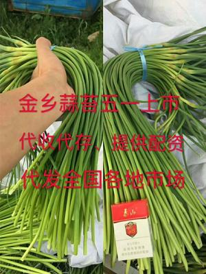 山东省济宁市金乡县金乡红帽蒜苔 50~60cm