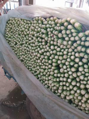 河北省邯郸市丛台区法国皇后芹菜 50~55cm 0.5~1.0斤 大棚种植