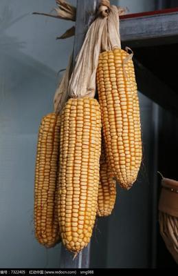 这是一张关于玉米湿粮 净货 水份14%-16% 的产品图片