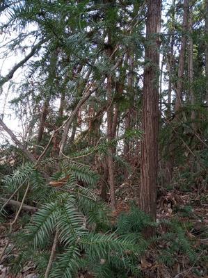 这是一张关于杉木  杉木原木出售的产品图片