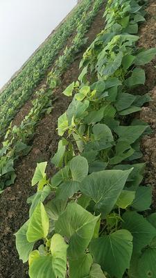 广东省湛江市坡头区龙薯9号红薯苗 25~35cm
