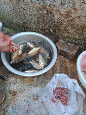 这是一张关于野生鲫鱼 野生 0.1公斤 的产品图片