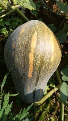 甘肃省酒泉市肃州区奶油南瓜种子  90% 香芋南瓜种子