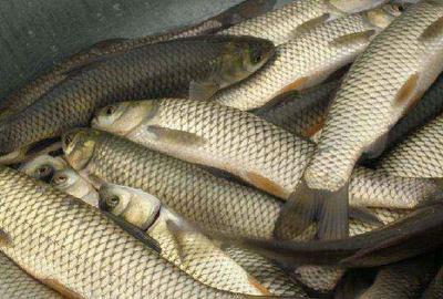这是一张关于池塘草鱼 人工养殖 4公斤 的产品图片