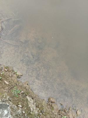 广东省江门市蓬江区加州鲈鱼 人工养殖 0.5公斤以下