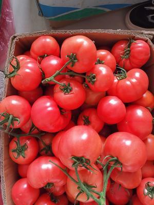 河北省秦皇岛市昌黎县粉果番茄 通货 弧二以上 硬粉