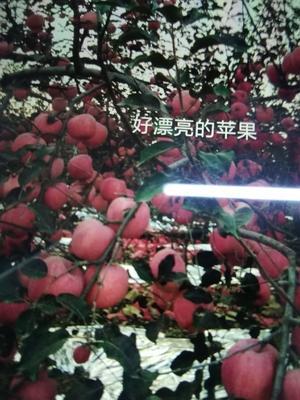 陕西省宝鸡市扶风县红富士苹果 85mm以上 片红 纸袋
