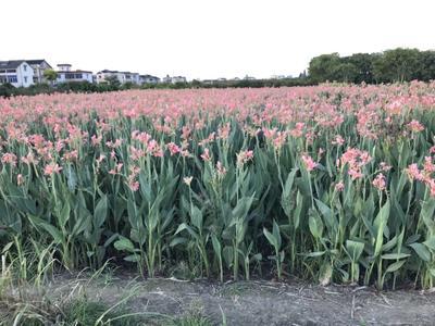浙江省杭州市萧山区粉美人蕉 2cm以下 0.5~1米