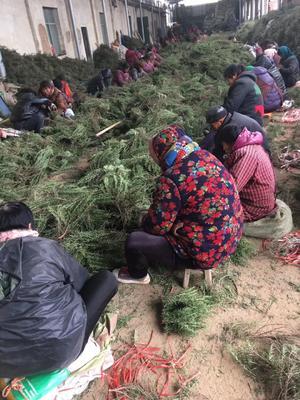 山东省济宁市梁山县中药材迷迭香  湿 出售迷迭香种苗带回收