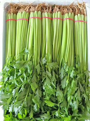 河北省邯郸市永年县香芹 40~45cm 0.5斤以下 大棚种植