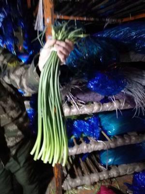 山东省临沂市兰陵县金乡红帽蒜苔 50~60cm
