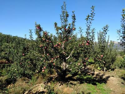 辽宁省锦州市北镇市秋瑾苹果 65mm以上 片红 光果