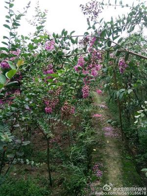 重庆涪陵区紫薇树