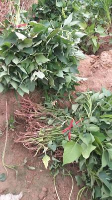 山东省德州市夏津县苏薯8号红薯苗 15~25cm