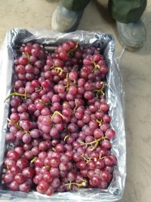 山东省青岛市崂山区克伦生葡萄 0.8-1斤 5%以下 1次果