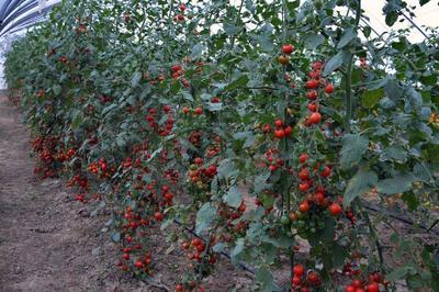 山东省莱芜市莱城区大红西红柿 精品 弧一以下 大红