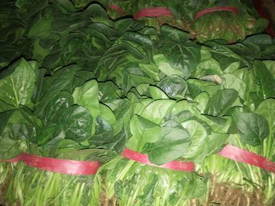 河南省安阳市滑县大叶菠菜 25~30cm