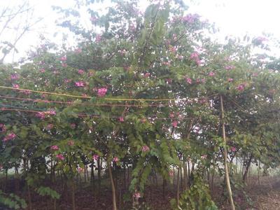广西壮族自治区钦州市钦北区宫粉紫荆树
