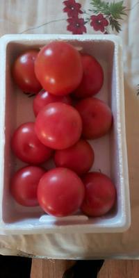 山东省潍坊市坊子区硬粉番茄 通货 弧二以上 硬粉